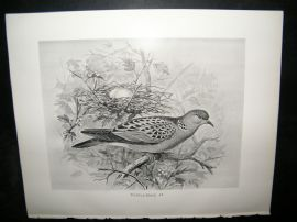 Frohawk 1898 Antique Bird Print. Turtle-Dove